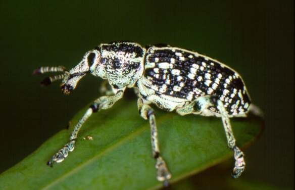 The threatened Botany Bay weevil